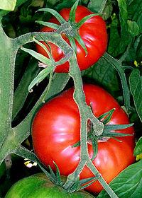 پوست گوجه فرنگی، دشمن دیابت